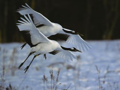 A Pair of Japanese or Red-Crowned Cranes Coming in for a Landing-Tim Laman-Photographic Print