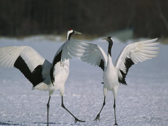 A Pair of Japanese or Red Crowned Cranes Engage in a Courtship Dance-Tim Laman-Photographic Print