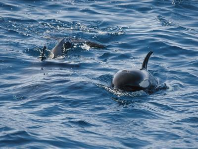 A Pair of Killer Whales Swimming Near the Continental Shelf-Jason Edwards-Photographic Print