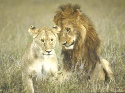 A Pair of Lions in the Wild in Africa-John Dominis-Photographic Print