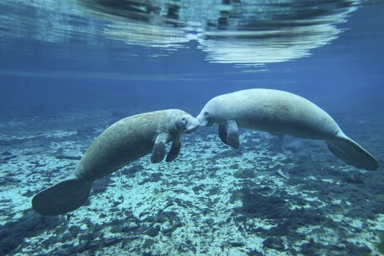 A Pair of Manatees Appear to Be Greeting Each Other, Fanning Springs, Florida-Stocktrek Images-Photographic Print