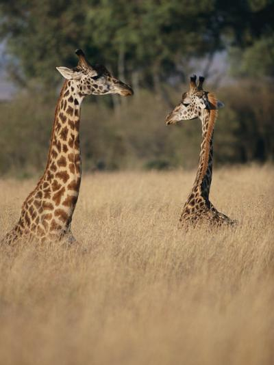 A Pair of Masai Giraffes Stand Above the Brush-Roy Toft-Photographic Print