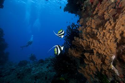 A Pair of Moorish Idols Dart for Cover When Divers Approach-Stocktrek Images-Photographic Print