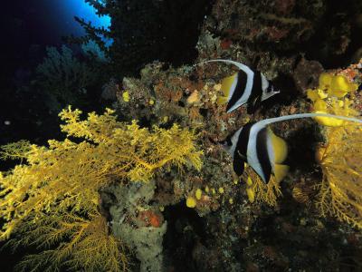 A Pair of Moorish Idols Swim Through a Reef-Tim Laman-Photographic Print