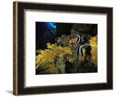 A Pair of Moorish Idols Swim Through a Reef-Tim Laman-Framed Photographic Print