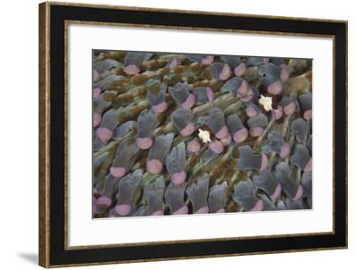 A Pair of Mushroom Coral Shrimp on Pink Mushroom Coral-Stocktrek Images-Framed Photographic Print