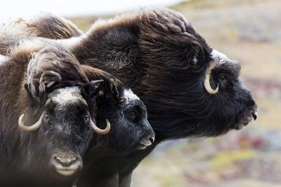 A Pair of Musk Ox Protect a Calf by Standing Either Side of It-Jason Edwards-Photographic Print