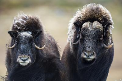 A Pair of Musk Ox with a Huge Shaggy Coats Stare at the Camera with Sharp Pointed Horns-Jason Edwards-Photographic Print