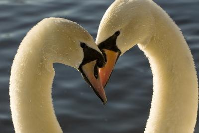 A Pair of Mute Swans, Cygnus Olor, Engage in a Courtship Display-Paul Colangelo-Photographic Print