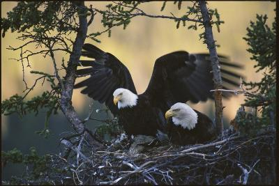 A Pair of Northern American Bald Eagles in their Treetop Nest-Michael S^ Quinton-Photographic Print