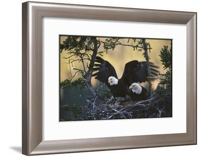 A Pair of Northern American Bald Eagles in their Treetop Nest-Michael S^ Quinton-Framed Photographic Print