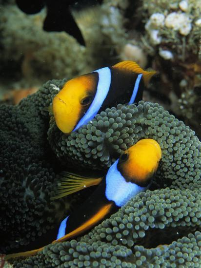 A Pair of Orange Fin Anemonefish Sleep Amid Sea Anemone Tentacles-Tim Laman-Photographic Print