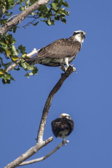 A Pair of Ospreys, Pandion Haliaetus, Perched on the Branch of a Tree-Kent Kobersteen-Photographic Print