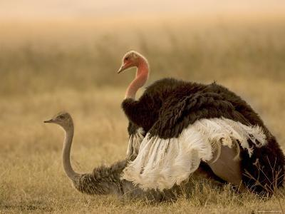 A Pair of Ostriches Mating (Struthio Camelus)-Roy Toft-Photographic Print