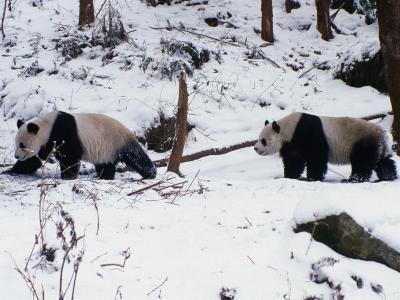 A Pair of Pandas(Ailuropoda Melanoleuca) in Snow, Wolong Ziran Baohuqu, Sichuan, China-Keren Su-Photographic Print