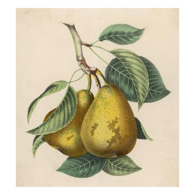 A Pair of Pears--Giclee Print