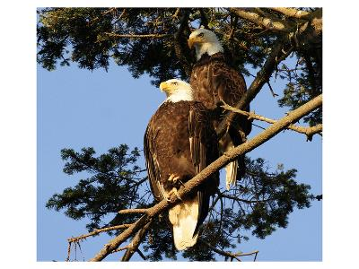 A Pair of perching Bald Eagles--Art Print
