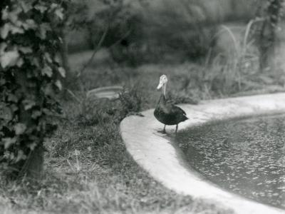 A Pair of Pink-Headed Ducks at Foxwarren Park in June 1926-Frederick William Bond-Photographic Print
