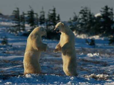 A Pair of Polar Bears (Ursus Maritimus) Stand on Their Hind Legs Prepared to Wrestle One Another-Norbert Rosing-Photographic Print