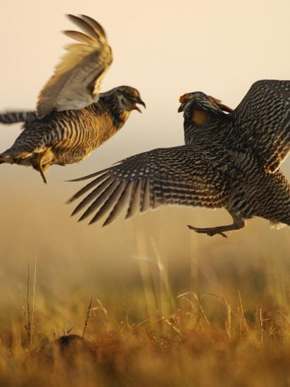 A pair of prairie chickens face off in dramatic aerial jousts-Jim Richardson-Photographic Print