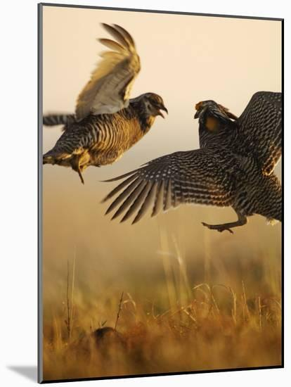 A pair of prairie chickens face off in dramatic aerial jousts-Jim Richardson-Mounted Photographic Print