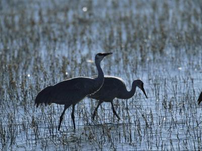 A Pair of Rare Japanese Red-Crowned Cranes Hunt in Shallow Water-Tim Laman-Photographic Print