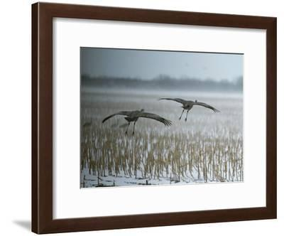 A Pair of Sandhill Cranes Fly over Harvested Cornfield with Snow-Tom Murphy-Framed Photographic Print