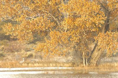 A Pair of Sandhill Cranes Walk under a Fall-Colored Tree on the Side of a Small Lake-Michael Forsberg-Photographic Print