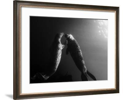 A Pair of Seals Swim in Waters Off the Farne Islands-Cesare Naldi-Framed Photographic Print