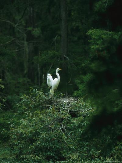 A Pair of Snowy Egrets Sit on a Nest in a Swamp in Georgia-Taylor S^ Kennedy-Photographic Print