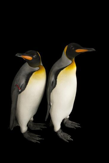 A Pair of South Georgia King Penguins at the Indianapolis Zoo-Joel Sartore-Photographic Print