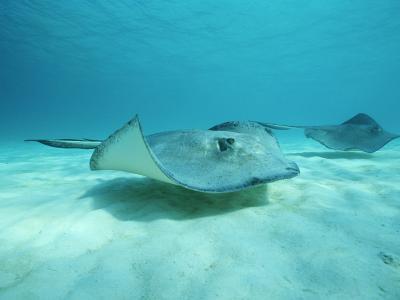 A Pair of Southern Stingrays Swim over Ocean Floor-Raul Touzon-Photographic Print