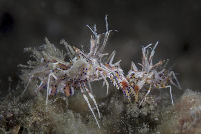 A Pair of Spiny Tiger Shrimp Crawl on the Seafloor-Stocktrek Images-Photographic Print