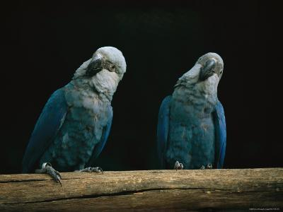 A Pair of Spixs Macaws Perches on a Branch at Sao Paulo Zoo-Joel Sartore-Photographic Print