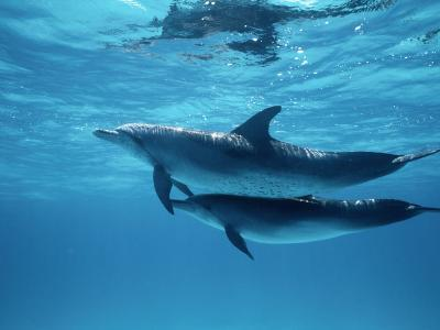 A Pair of Spotted Dolphins-Wolcott Henry-Photographic Print