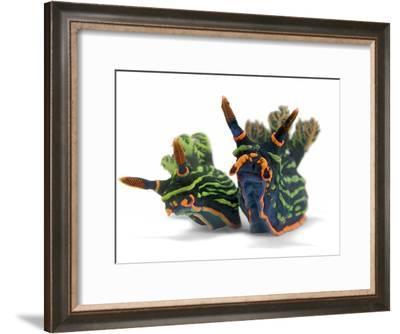 A pair of toxic Nembrotha kubaryana nudibranchs-David Doubilet-Framed Photographic Print