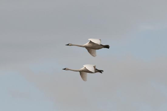 A Pair of Trumpeter Swans, Cygnus Buccinator, in Flight-Nicole Duplaix-Photographic Print