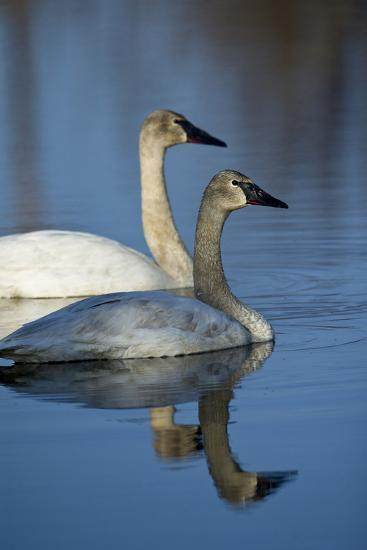 A Pair of Trumpeter Swans, Cygnus Buccinator, Swimming-Michael S^ Quinton-Photographic Print