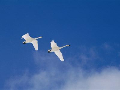 https://imgc.artprintimages.com/img/print/a-pair-of-trumpeter-swans-fly-above-a-cloud-of-steam_u-l-p3r3730.jpg?p=0