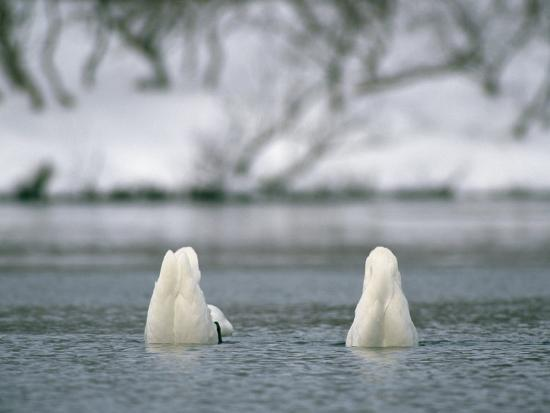 A Pair of Trumpeter Swans Submerged in Water-Klaus Nigge-Photographic Print