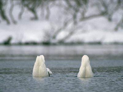 https://imgc.artprintimages.com/img/print/a-pair-of-trumpeter-swans-submerged-in-water_u-l-p3k1r20.jpg?p=0