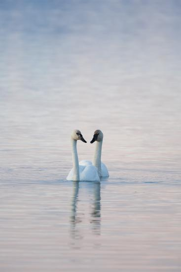 A Pair of Trumpeter Swans Swimming Together-Peter Mather-Photographic Print