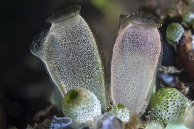A Pair of Tunicates Grow on a Reef in Lembeh Strait, Indonesia-Stocktrek Images-Photographic Print