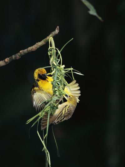 A Pair of Weaverbirds Work Together on Their Nest-Tim Laman-Photographic Print