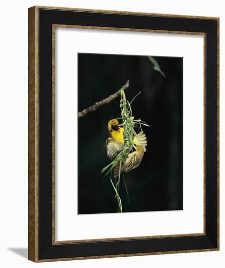 A Pair of Weaverbirds Work Together on Their Nest-Tim Laman-Framed Photographic Print