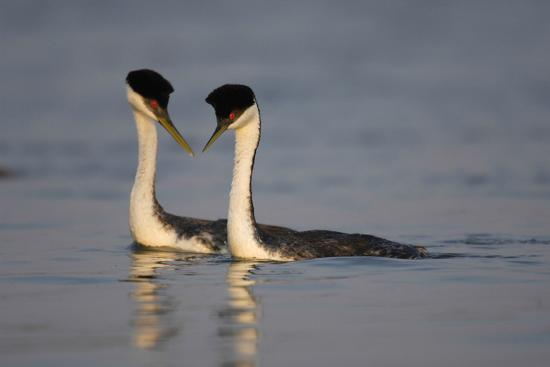 A Pair of Western Grebes, Aechmorphorus Occidentalis, Swimming and Courting-Michael Forsberg-Photographic Print