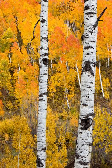 A Pair Of White Aspen Trees In Front Of A Brightly Colored Stand Of Aspens In Fall Colors-Greg Winston-Photographic Print