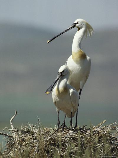 A Pair of White Spoonbill Birds Sit in Their Nest-Klaus Nigge-Photographic Print