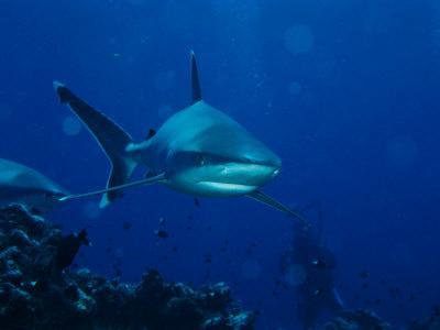 https://imgc.artprintimages.com/img/print/a-pair-of-whitetip-reef-sharks-cruise-a-reef-near-a-diver_u-l-p4u24s0.jpg?p=0