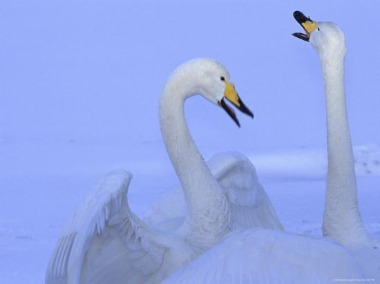 A Pair of Whooper Swans in Morning Light-Tim Laman-Photographic Print